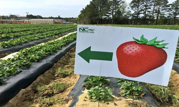 Strawberry season springs into Columbia