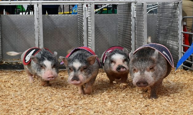 Couple tours the country racing pigs