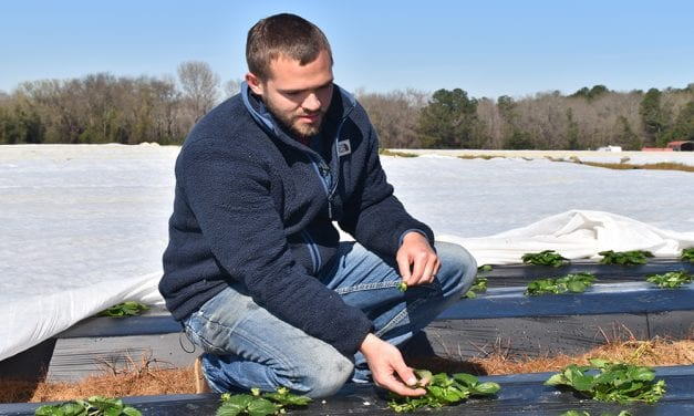 Freezing temperatures threaten strawberry plants