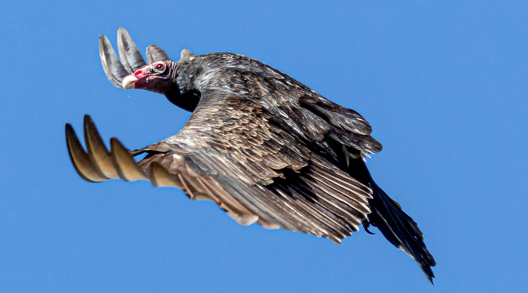 Vulture invasion ruffles feathers in Forest Acres