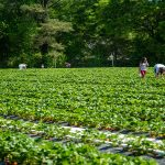 Cottle Strawberry Farm opens for berry picking season