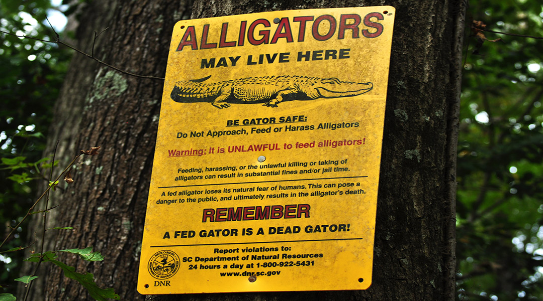 See you later, alligator: Experts chime in on viral video